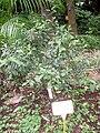 Houttuynia cordata - Hong Kong Botanical Garden - IMG 9594.JPG