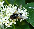 Hover Fly. Volucella pellucens - Flickr - gailhampshire.jpg