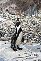 Humboldt Penguin (3904326150).jpg