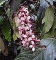Humboldtia brunonis 04.JPG
