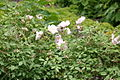 Humes Blush Tea-Scented China (Rosa x odorata) (3563986559).jpg
