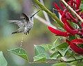 Hummingbird (29259690208).jpg
