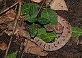 Hump-nosed Pit Viper Hypnale hypnale by Dr. Raju Kasambe DSCN0942 (34).jpg