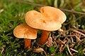 Hygrophoropsis aurantiaca - Lindsey.jpg