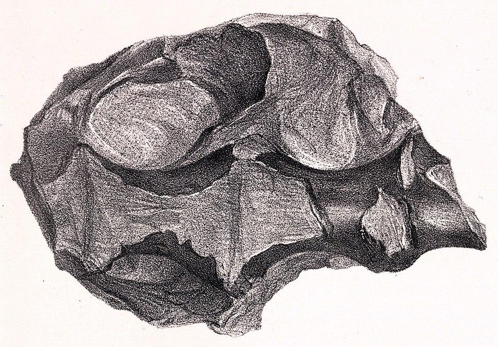 Hylaeosaurus sacrum