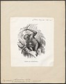 Hylobates leuciscus - 1700-1880 - Print - Iconographia Zoologica - Special Collections University of Amsterdam - UBA01 IZ19800121.tif