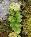 Hylotelephium verticillatum.jpg