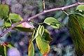 Hymenaea courbaril 10zz.jpg