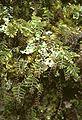 Hymenophyllum dentatum.jpg
