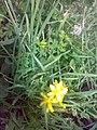 Hypericum maculatum 01.jpg