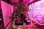 ISS-54 Veggie-03 with lettuce plants.jpg