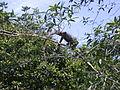 Iguana at La Selva.JPG