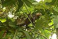 Iguana delicatissima in Picard, Dominica-2012 03 06 0511.jpg