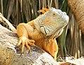 Iguana iguana 13zz.jpg