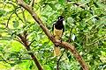 Iguassu Falls, Brazil-Argentina - Plush-Crested Jay (Cyanocorax chrtsops) - (24475665309).jpg
