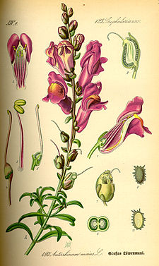 Illustration Antirrhinum majus0.jpg