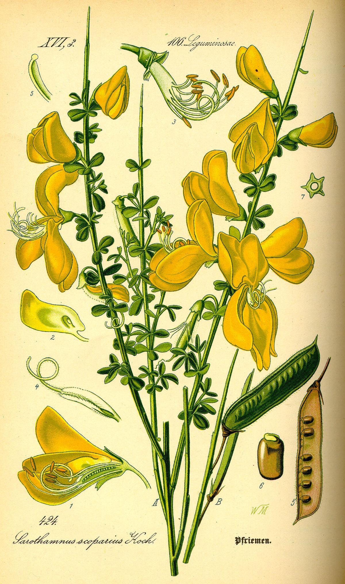 Cytisus Scoparius Wikipedia La Enciclopedia Libre