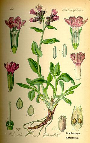 Pulmonaria officinalis -  Botanical sketch of Pulmonaria officinalis showing seeds, from Flora von Deutschland, Österreich und der Schweiz 1885 Thomé