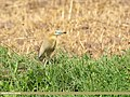 Indian Pond Heron (Ardeola grayii) (45679452405).jpg