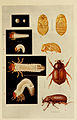 Indian insect life (Plate XV) (6280034910).jpg