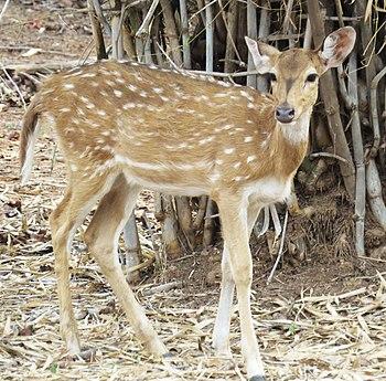 Indian spotted deer.jpg