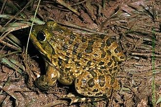 Hoplobatrachus tigerinus - H. tigerinus from Bengaluru