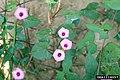 Ipomoea × leucantha.jpg