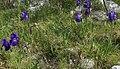 Iris (Iridaceae).jpg