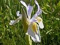 Iris missouriensis (3625708384).jpg