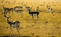 Island of Blackbuck .jpg