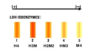 Isozyme - The differences between 5 isozyme when use Electrophoresis