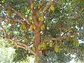 Jack fruit tree AJT Johnsingh DSCN2331.jpg