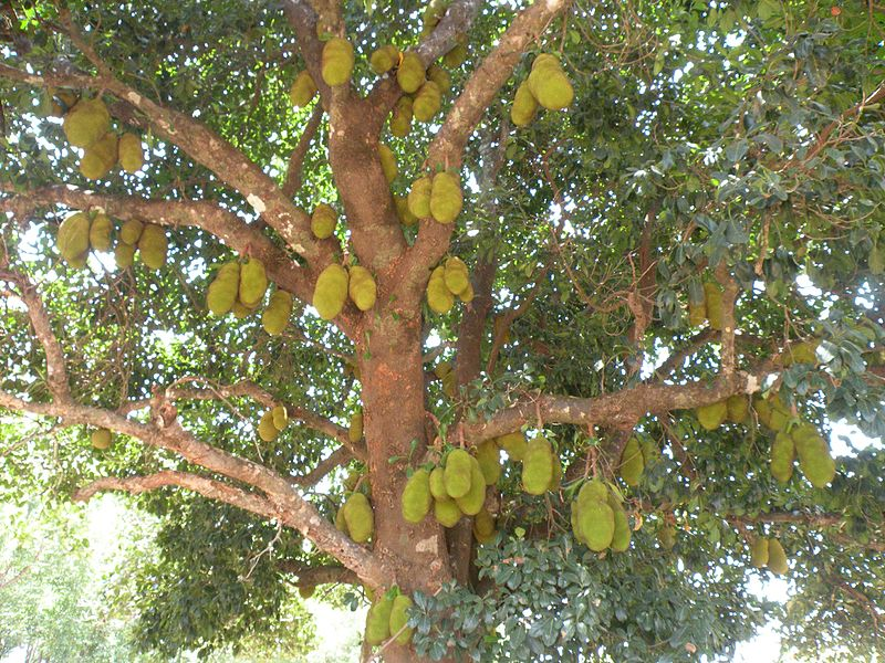 File:Jack fruit tree AJT Johnsingh DSCN2331.jpg