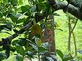 Jackfruit Bangladesh.JPG
