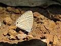 Jamides celeno - Common Cerulean mud puddling at Peravoor (8).jpg