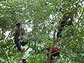 Jamun Tree 01.jpg
