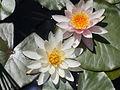 Japanese Garden. White flower. - Margaret Island, Budapest, Hungary.JPG