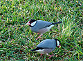 Java Sparrow in grass.jpg