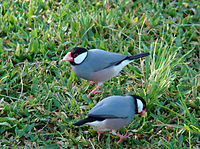 Java Sparrow in grass