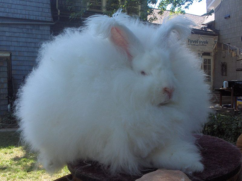 File:Joey Giant Angora Buck.jpg