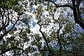 Juglans nigra (Black Walnut) 1181*E (36863436913).jpg