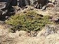 Juniper in Thingvellir.jpg