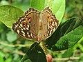 Junonia lemonias - Lemon Pansy 09.jpg