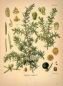 Можжевельник обыкновенный — Википедия | 298x220