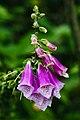 Kalimpong Flora and Fauna18.jpg