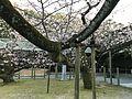 Kanhi-zakura Cherry Trees in Miyajidake Shrine 5.jpg