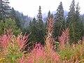 Kastamonu, Ilgaz, Çam ormanları Eylül 2015 - panoramio (2).jpg
