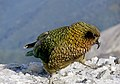 Kea. NZ Alpine parrot. (48028751231).jpg