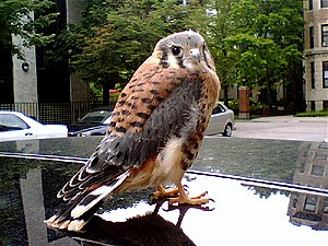 Kestrel -  A juvenile American kestrel on the roof of a parked car in Boston