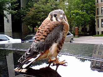 Kestrel - A juvenile American kestrel perched on the roof of a car in Boston